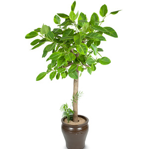 뱅갈고무나무(3호)