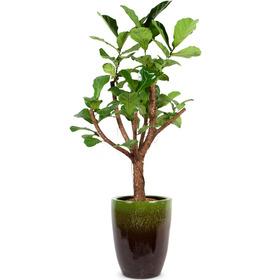 떡갈고무나무 3호 (높이:150cm내외)