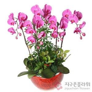 호접란(핑크6호)