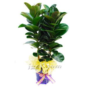 고무나무(대)