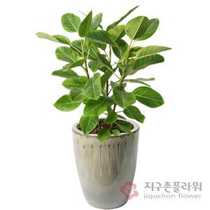 뱅갈고무나무(1호)